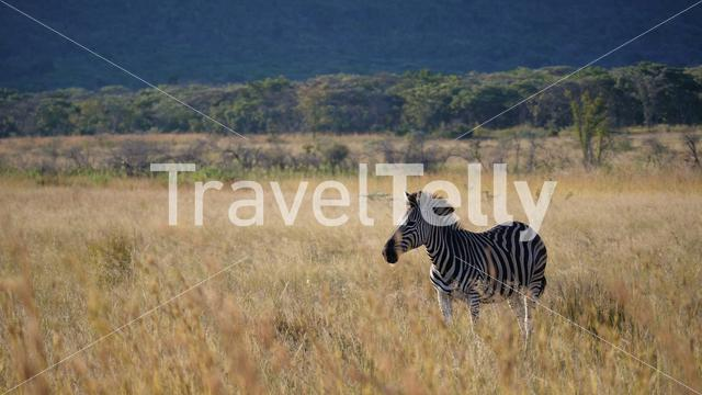 Lonely zebra at Waterberg National Park in South Africa