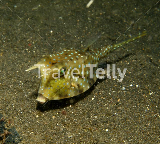 Longhorn cowfish in Lembeh Sulawesi Indonesia