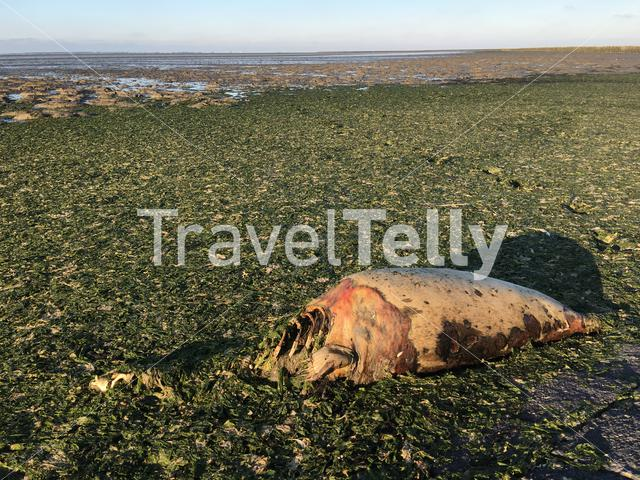 Dead seal at the beach in Moddergat Friesland The Netherlands