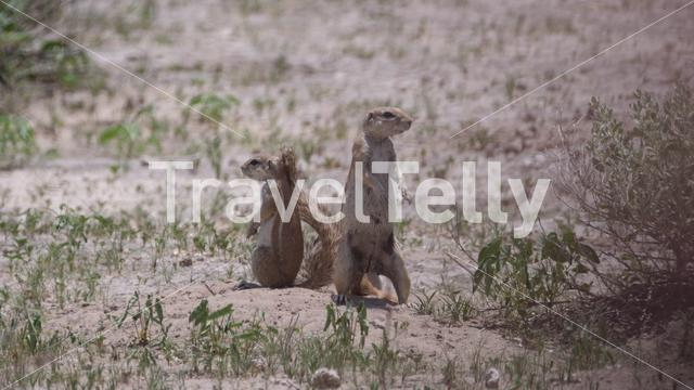 Two African ground squirrels in Central Kalahari Game Reserve, Botswana