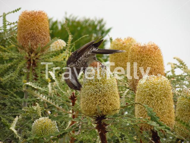 Honeyeater on a flower in Esperance Western Australia