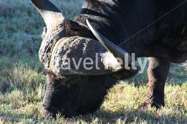 Big black buffalo eating grass on savanna of South Africa