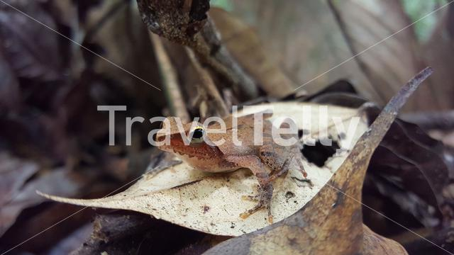 Frog on a leaf at Loango National Park in Gabon