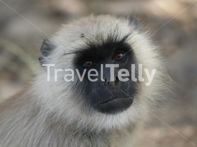 Close up from a Gray langur monkey at Ranthambore National Park India