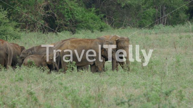 Herd of Asian elephant in Minneriya national park, Sri lanka