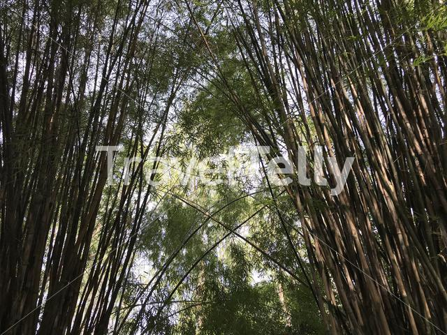 Bamboo trees in Phanom Sawai Forest Park Thailand