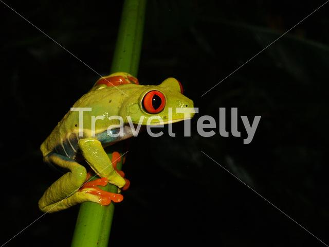 Red eyed tree frog at Mombacho Volcano National Preserve in Nicaragua