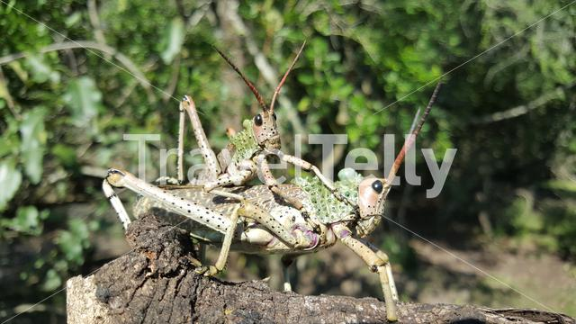 African grasshoppers mating in iSimangaliso Wetland Park in South Africa
