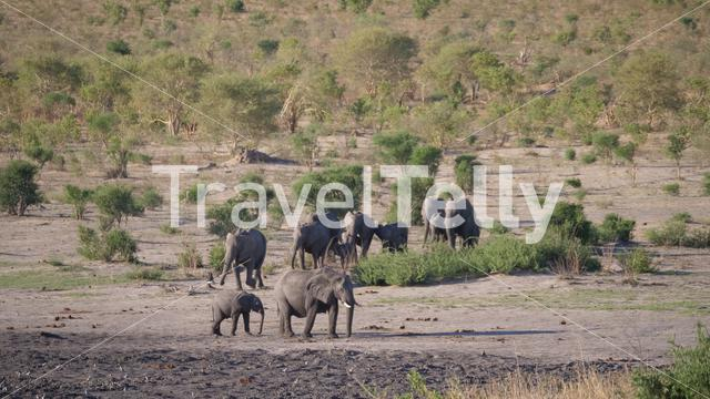 Herd of African Bush elephants at Khaudum National Park, Namibia