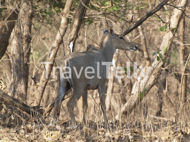 Deer in Gir National Park India
