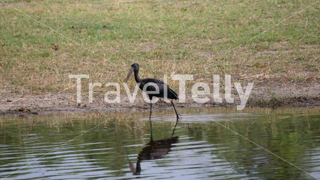 African Openbill walking in a pond searching for food