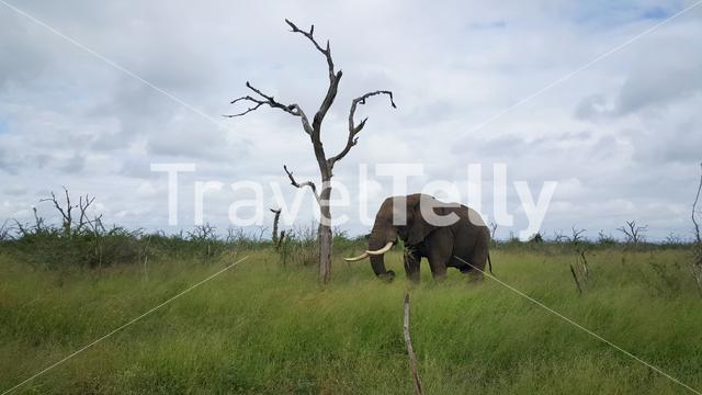 Elephant eating grass at Hlane Royal National Park in Swaziland