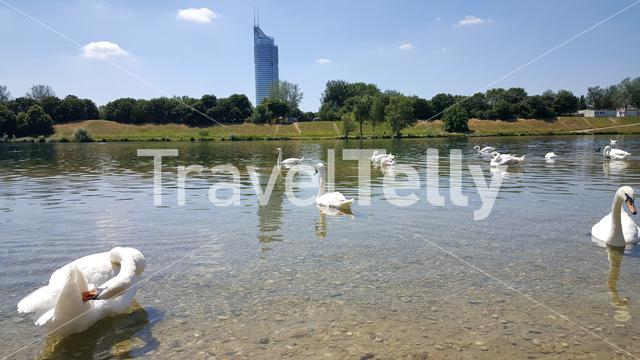 White swans in Donau river with Millenium Tower on background