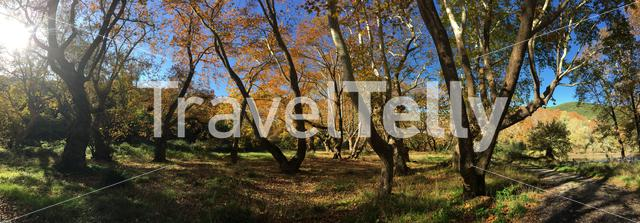 Panorama from beautiful big trees with autumn colors around the Peneios river in Thessaly, Greece
