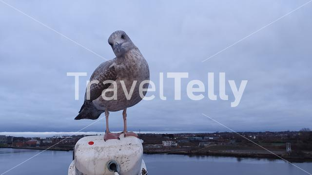 Seagull possing in front of camera