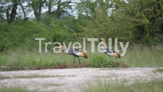 Two African crowned crane at Hwange National Park in Zimbabwe