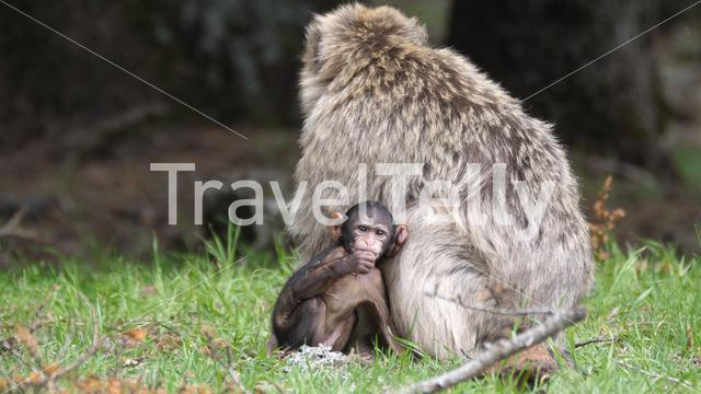 Barbary ape with a baby at the Cèdre Gouraud Forest in the Middle Atlas Mountain Range of Morocco