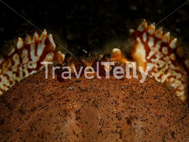 Buried box crab in Lembeh Sulawesi Indonesia