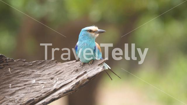 Lilac-breasted roller on a tree in The Gambia, Africa