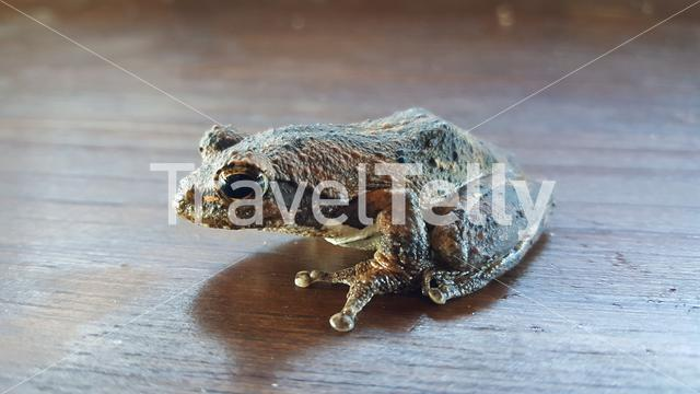 Close up from a brown frog on a table in South Africa