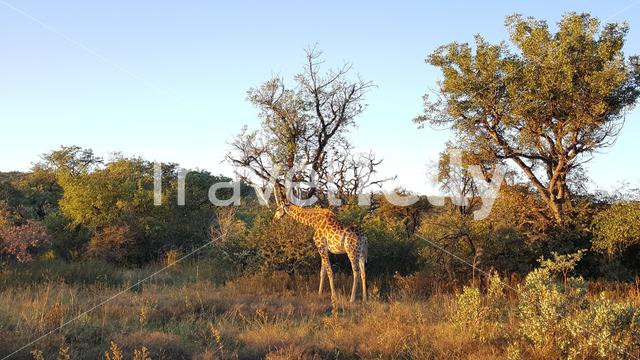 Giraffe in Entabeni Nature Reserve South Africa