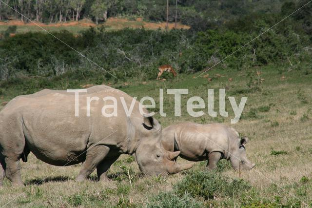 Mother and baby rhino on the savanna in South Africa