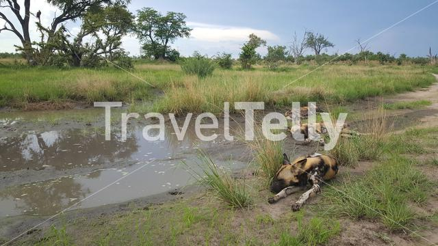 African wild dogs sleeping at Moremi Game Reserve in Botswana