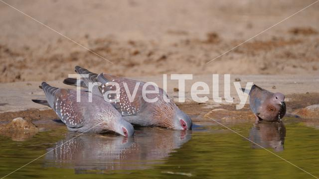 Three speckled pigeons drinking water from a pond in Africa