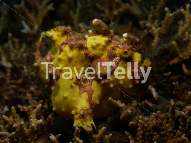 Clown frogfish in Lembeh Sulawesi Indonesia