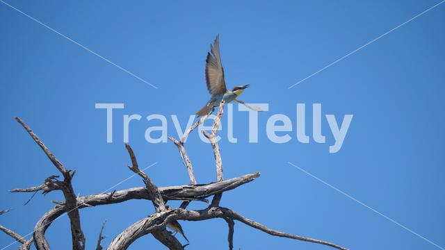 Bee-eater flying away from a tree branch