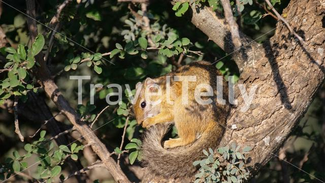 African bush squirrel in a tree in Pilanesberg Game Reserve South Africa
