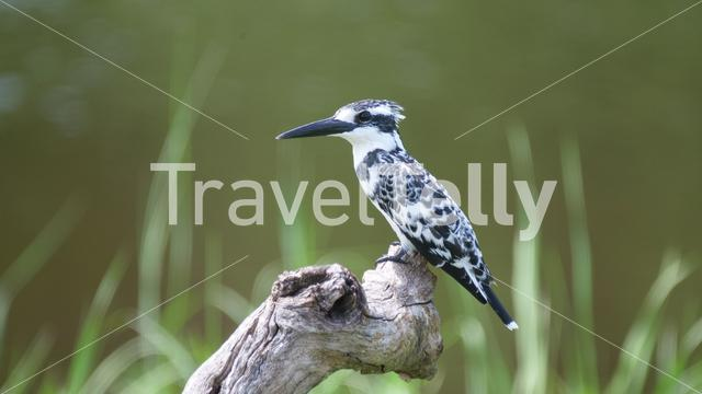 Pied kingfisher on tree trunk near a lake