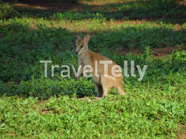 Young wallaby at mission beach Queensland Australia