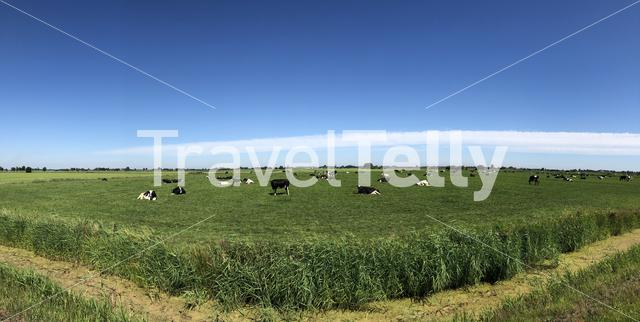 Panorama from cows in the meadow in Friesland The Netherlands