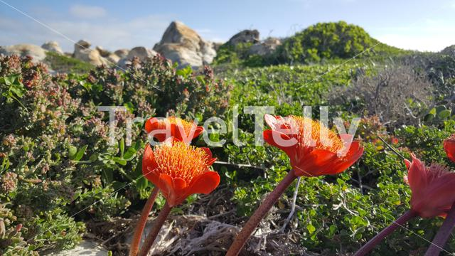 Flowers at Cape Agulhas in South Africa
