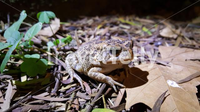 Toad in Drakensberg National Park in South Africa
