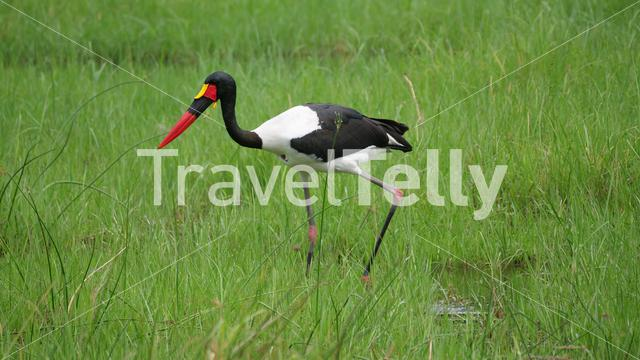 Saddle-billed stork in wetlands of Moremi Game Reserve, Botswana