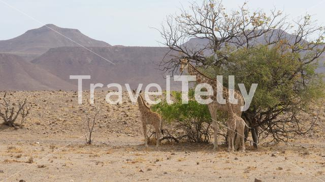 Giraffe family standing together on a dry savanna of Orupembe in Namibia