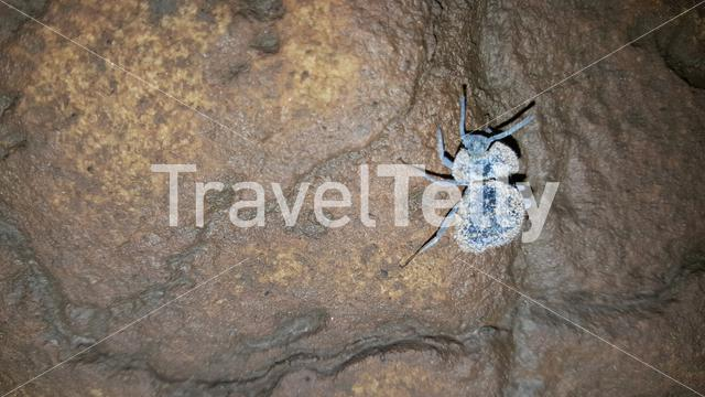 Beetle at the Sassa caves in Angola