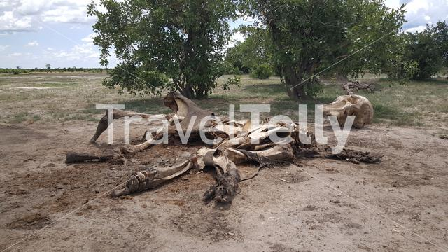 Elephant skeleton in Moremi Game Reserve, Botswana