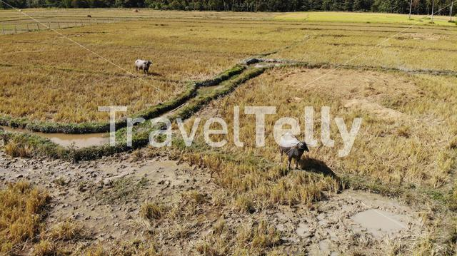Aerial of rice terraces with buffalos in countryside of the Philippines