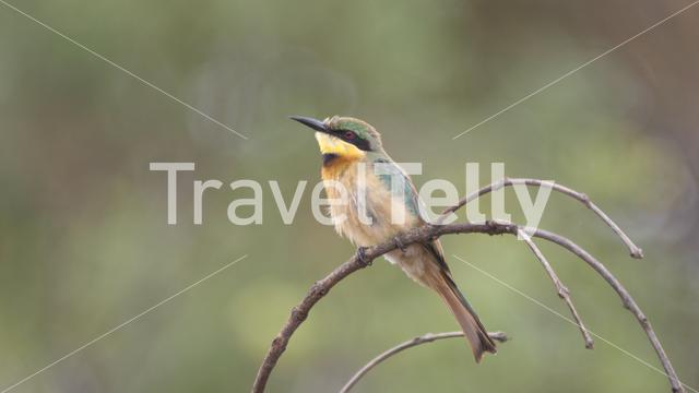 Little bee-eater on a branch at Kahi Badi Forest Park a forest park in the Gambia, Africa