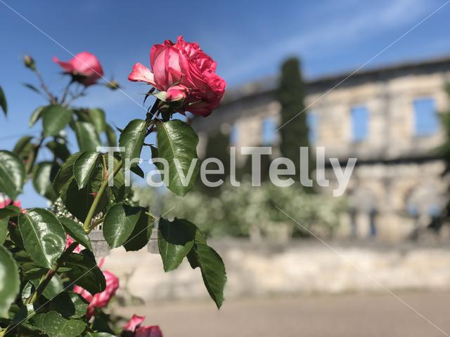 Roses in front of the Pula Arena the amphitheatre in Pula, Croatia