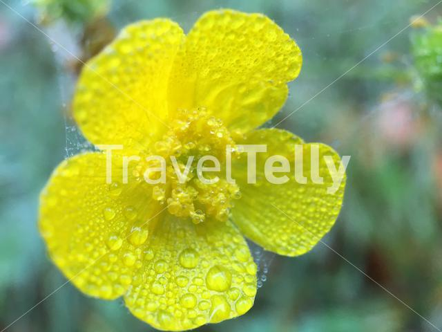 Dew drops on a yellow flower in The Netherlandsb
