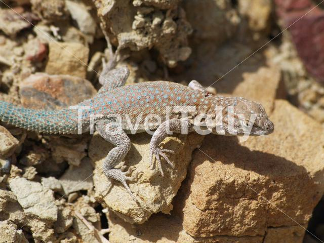 Common side-blotched lizard on a rock