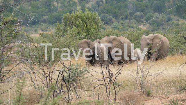 Herd of elephants in Pilanesberg Game Reserve in South Africa