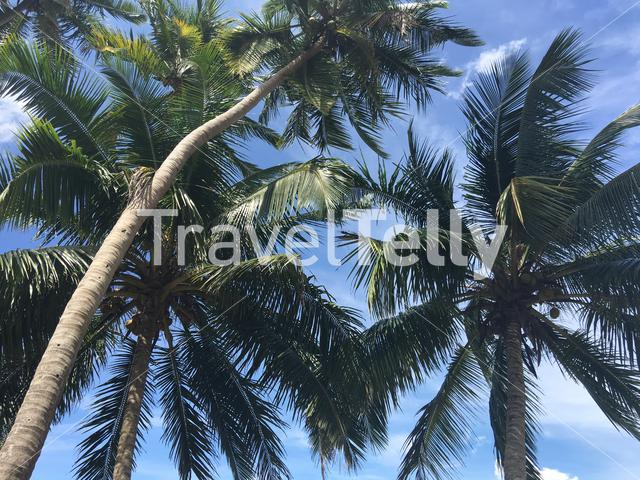 Group of palmtrees in Sri Lanka