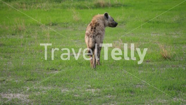 Hyena walking around at the savanna