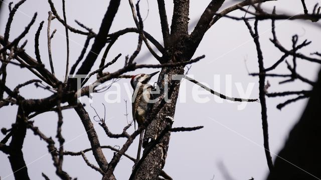 African grey woodpecker in a tree at Waterberg South Africa