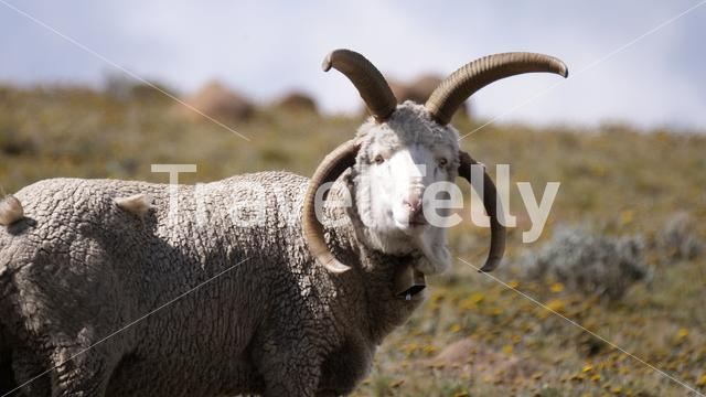 Close up from Damara sheep in Lesotho Africa